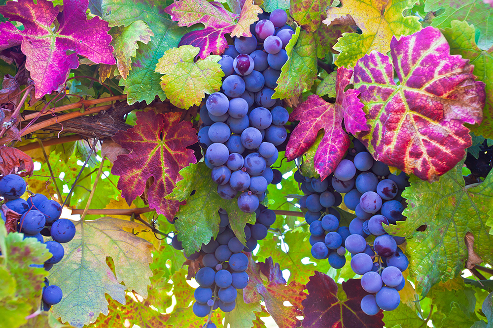 Grapes at Vineyard in Placerville, CA