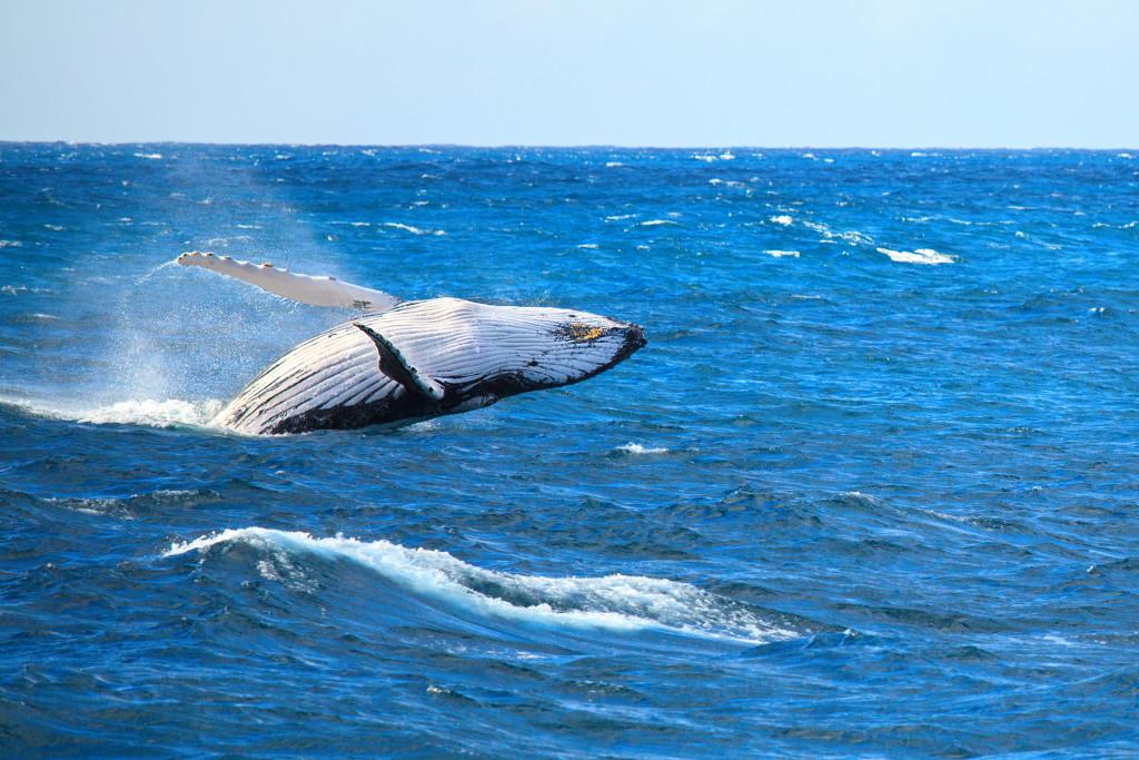 Whale Breaching in Ocean in San Diego, CA