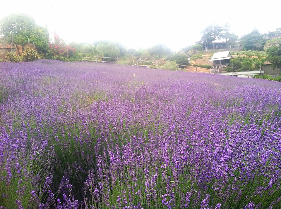 Keys Creek Lavender Farm near San Diego, CA