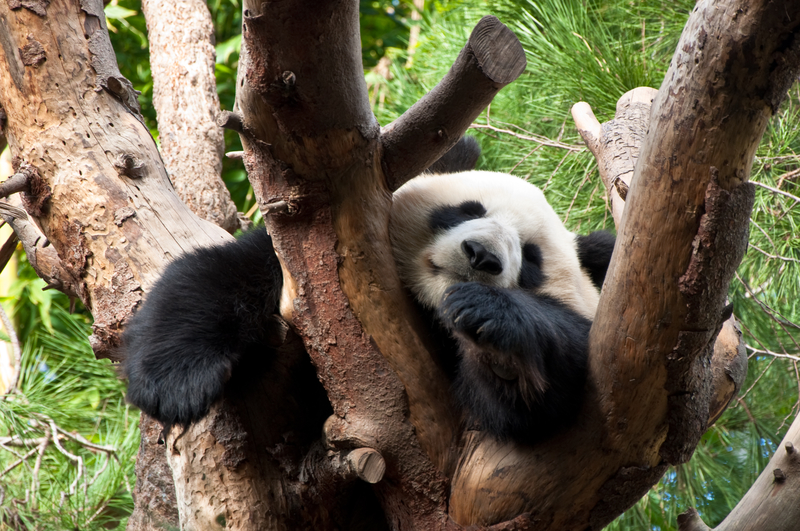 Panda Sleeping on Tree at San Diego Zoo in CA
