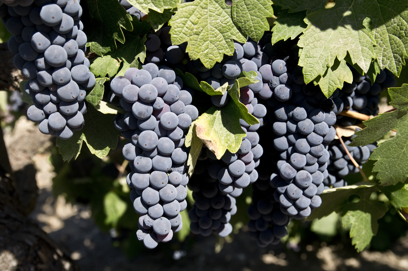 Grapes Ripening in Winery Vineyard in Placerville, CA